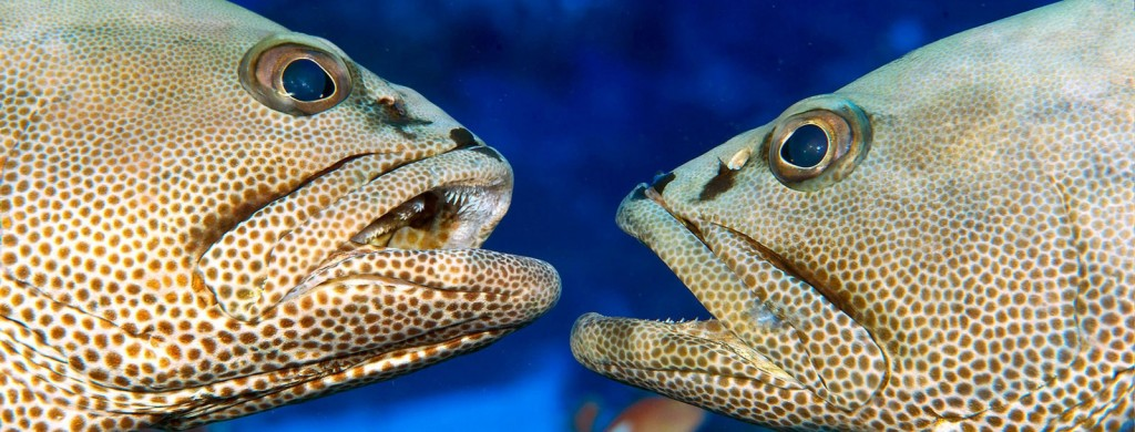 gombessa-close-up-two-facing-groupers-1600
